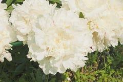 Peonías blancas en un arbusto en el jardín Foto de archivo
