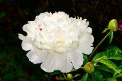 Peonías blancas hermosas Fotos de archivo
