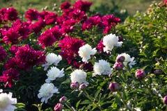 Peonías blancas y rosadas en el jardín Imagen de archivo