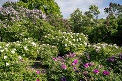 Peonías del árbol y panorama floreciente de la lila Imagen de archivo