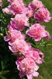 Peonías del rosa del arbusto floreciente Fotografía de archivo
