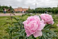 Peonías en The Field de Marte St Petersburg Rusia Imagen de archivo libre de regalías