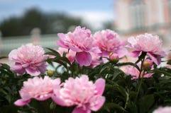 Peonías florecientes en palacio unfocused del fondo Fotos de archivo