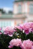 Peonías florecientes en palacio unfocused del fondo Imagen de archivo libre de regalías
