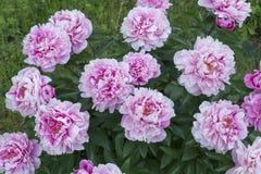 Peonías florecientes en verano Foto de archivo libre de regalías
