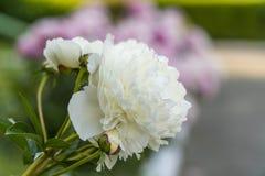 Peonías florecientes en verano Imagen de archivo libre de regalías
