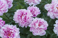 Peonías florecientes en verano Fotografía de archivo