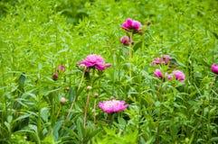 Peonías rojas de las flores entre las plantas verdes fotos de archivo libres de regalías