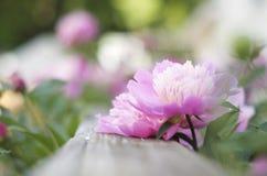 Peonías rosadas fotos de archivo