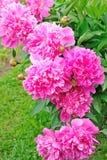 Peonías rosadas Imágenes de archivo libres de regalías