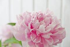 Peonías rosadas Imagen de archivo
