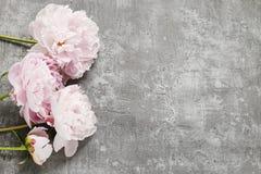 Peonías rosadas aisladas en fondo gris, imágenes de archivo libres de regalías