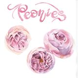 peonías rosadas de la acuarela Imagen de archivo