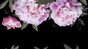 Peonías rosadas de las flores en fondo negro imagen de archivo
