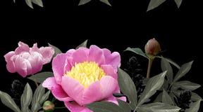 Peonías rosadas de las flores en fondo negro foto de archivo