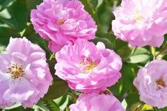 Peonías rosadas en el jardín Foto de archivo libre de regalías