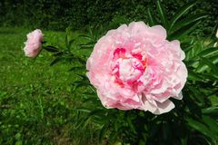 Peonías rosadas en el jardín en fondo enorme verde imagenes de archivo