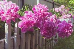 Peonías rosadas grandes entre las hojas verdes Caídas brillantes de la luz del sol en las flores imagen de archivo