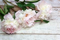 Peonías rosadas imponentes en la madera rústica blanca Fotografía de archivo