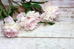 Peonías rosadas imponentes en la madera rústica blanca Fotos de archivo