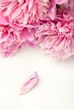 Peonías rosadas imponentes y un pétalo en el fondo blanco Imagenes de archivo