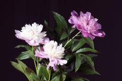 Peonías rosadas y blancas con las hojas Foto de archivo