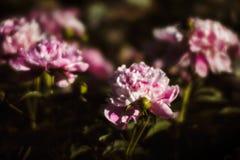 Peonías rosadas y blancas en el jardín Imagen de archivo
