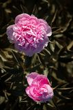 Peonías rosadas y blancas en el jardín Fotos de archivo libres de regalías