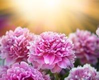 Peonías rosadas y blancas en el jardín Fotos de archivo