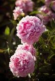 Peonías rosadas y blancas en el jardín Imagen de archivo libre de regalías