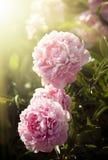 Peonías rosadas y blancas en el jardín Imágenes de archivo libres de regalías