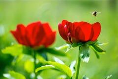 Peonías salvajes y una abeja del vuelo en ReserveYailata arqueológico nacional, Bulgaria Fotografía de archivo