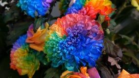 Peon?as multicoloras interesantes inusuales hermosas del arco iris, margaritas, rosas Selecci?n de flores, color inusual de la fl almacen de metraje de vídeo
