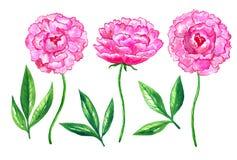 Peon?as rosadas brillantes Conjunto de elementos Ejemplo dibujado mano de la acuarela Aislado en el fondo blanco libre illustration