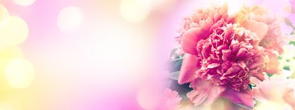 Peon flowers banner.  Blooming pink peony. Beautiful flowers peonies. Closeup of beautiful pink peonie flower banner. Empty copy space. Pastel colored holiday Royalty Free Stock Image