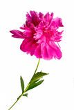 Peon. Pink peon flower isolated on white background Stock Photography