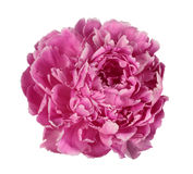 Peonía rosada Fotos de archivo libres de regalías