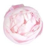 Peonía rosada Imagen de archivo libre de regalías