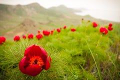 Peones selvaggi nelle montagne Fotografia Stock Libera da Diritti
