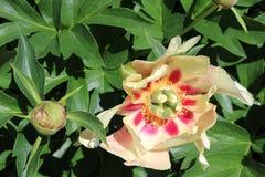 Peoney λουλουδιών Στοκ φωτογραφία με δικαίωμα ελεύθερης χρήσης