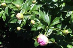 Peoney λουλουδιών Στοκ εικόνες με δικαίωμα ελεύθερης χρήσης