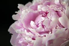 Peonflower, em um fundo preto imagem de stock