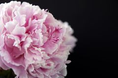 Peonflower, su un fondo nero fotografia stock