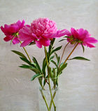Peoni flowersin szklana waza na biel ściany tle Obraz Stock