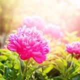 Peoni fuksi Colour lata zieleni ogródu światło Fotografia Stock