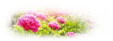 Peoni fuksi Colour lata zieleni ogródu światło Zdjęcia Stock