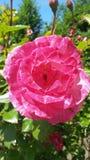 Peonia красной розы Стоковые Изображения