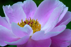 Peonia Stock Photo