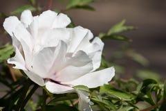 Peonia bianca dell'albero Fotografia Stock