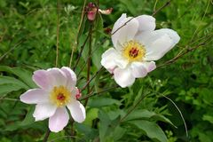 Peonia cinese selvatica di fioritura - lactiflora di Paeonia fotografia stock libera da diritti